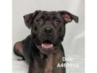 Adopt DALE a Pit Bull Terrier