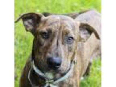 Adopt Pax a Brindle Mixed Breed (Medium) dog in Middletown, RI (25915582)