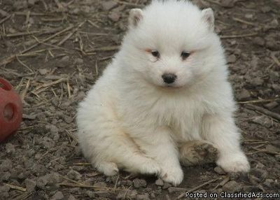 Double bankis male and female Samoyed puppies