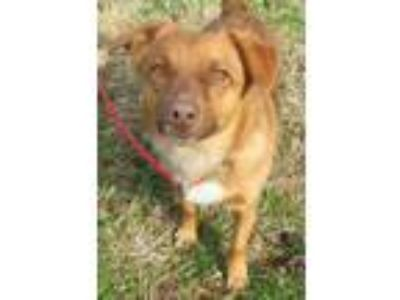 Adopt Pippin a Red/Golden/Orange/Chestnut Corgi / Corgi / Mixed dog in Morton