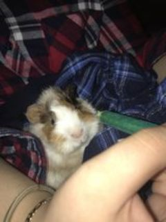 Guinea Pig with everything included