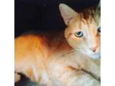 Adopt tiger a Orange or Red Tabby Domestic Shorthair (short coat) cat in