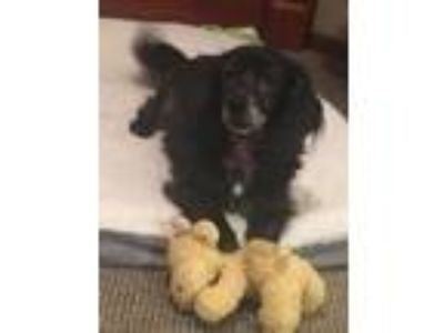 Adopt Princess - Wonderful Spaniel Girl! a Spaniel