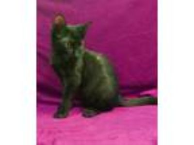 Adopt Rue a Domestic Short Hair