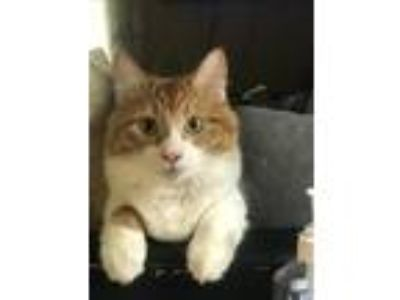 Adopt Mufasa/Panther a Tan or Fawn Domestic Mediumhair cat in El Paso
