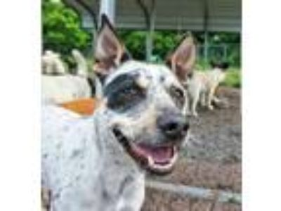 Adopt Ranger Aka Wibble-Wobble a Australian Cattle Dog / Blue Heeler, Pointer