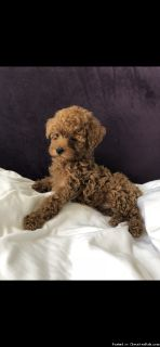 RED MALTIPOO PUPPIES!!!