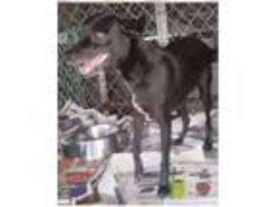 Adopt Yiza a Rat Terrier, Labrador Retriever