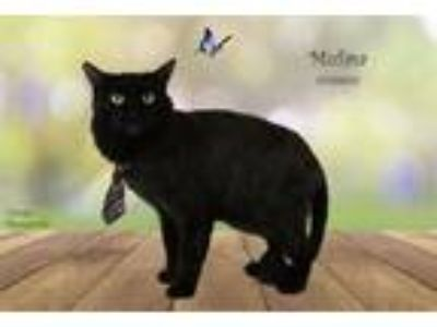 Adopt Cat a Domestic Medium Hair