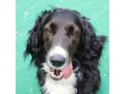 Adopt Emma a Black English Springer Spaniel dog in Walker, MI (25860340)