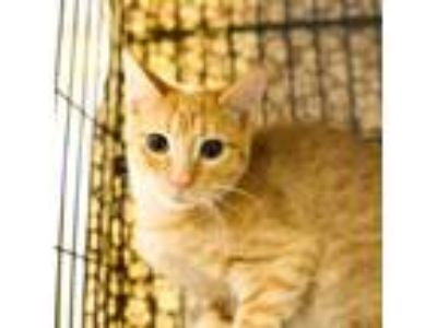 Adopt Doe a Domestic Shorthair / Mixed cat in Austin, TX (23076944)