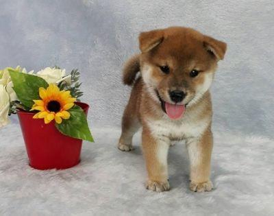 Shiba Inu PUPPY FOR SALE ADN-98264 - Prettiest Red Shiba Inu male puppy in America