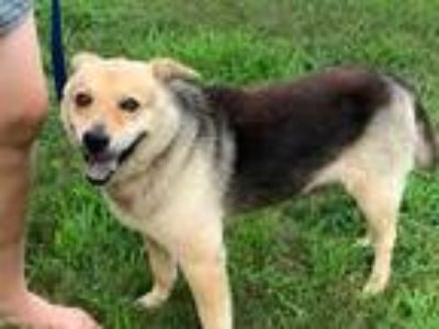 Adopt INDY a Tan/Yellow/Fawn - with Black Australian Shepherd / Shepherd