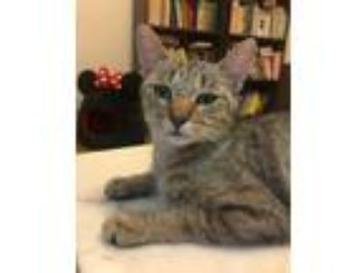 Adopt Cio Cio San a Tan or Fawn Tabby Domestic Shorthair (short coat) cat in