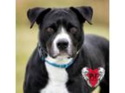 Adopt Max a Pit Bull Terrier / Mixed dog in St. Petersburg, FL (20846458)
