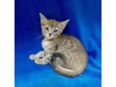 Adopt Jacqueline a Gray or Blue Domestic Shorthair cat in Culver City