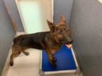Adopt Sadie a Brown/Chocolate Belgian Malinois / German Shepherd Dog / Mixed dog