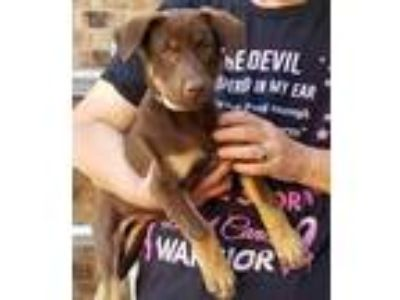 Adopt Annabelle a Brown/Chocolate Beagle / Hound (Unknown Type) / Mixed dog in