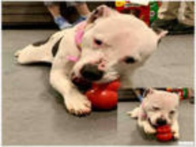 Adopt NYLA a White - with Black American Pit Bull Terrier / Mixed dog in