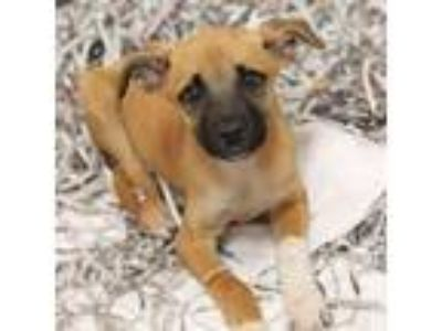 Adopt Wilma a Labrador Retriever, Mixed Breed