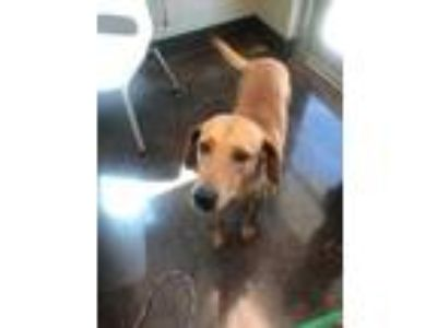 Adopt Cutlet a Brown/Chocolate Labrador Retriever / Mixed dog in Florence