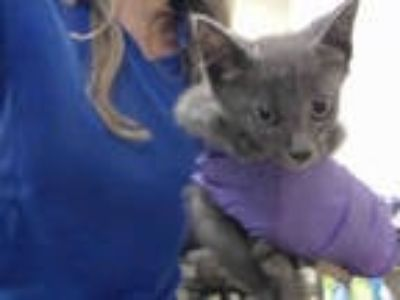 Adopt BASIL a Gray or Blue Domestic Shorthair / Mixed (short coat) cat in Doral