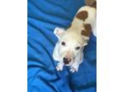Adopt Sooner a White Australian Cattle Dog / American Pit Bull Terrier / Mixed
