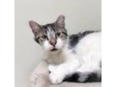 Adopt Arnold a White Domestic Shorthair / Domestic Shorthair / Mixed cat in