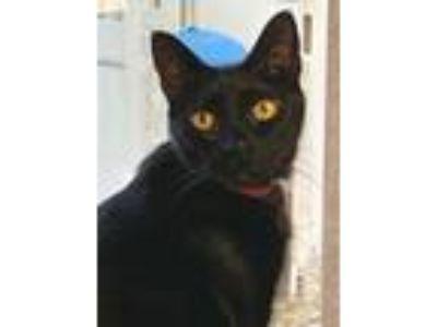 Adopt Hoodo Kitty a All Black Domestic Shorthair / Domestic Shorthair / Mixed