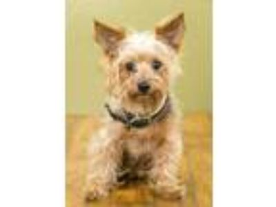 Adopt Thunderbolt a Black Silky Terrier / Mixed dog in West Allis, WI (25578537)