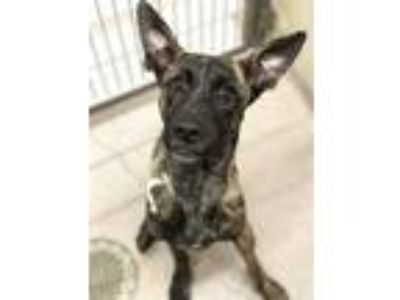 Adopt Julie a Dutch Shepherd / Mixed dog in Birmingham, AL (25878177)