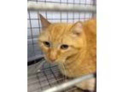 Adopt Bob - Barn Cat a Orange or Red Domestic Shorthair / Domestic Shorthair /