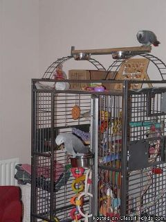 AFRICAN GREY PARROTS READY NOW!
