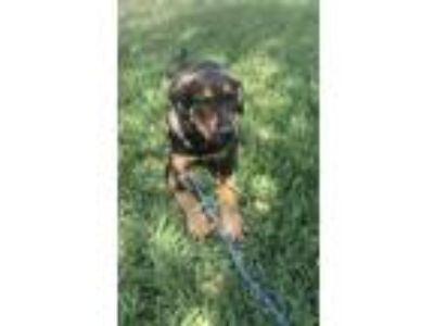 Adopt Shep a Black - with Tan, Yellow or Fawn German Shepherd Dog / Rottweiler
