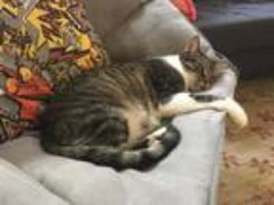 Adopt Smoker a Tiger Striped Domestic Mediumhair / Mixed (short coat) cat in