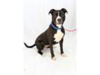 Adopt Mia a Pit Bull Terrier
