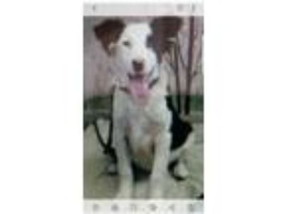 Adopt Jack a Border Collie