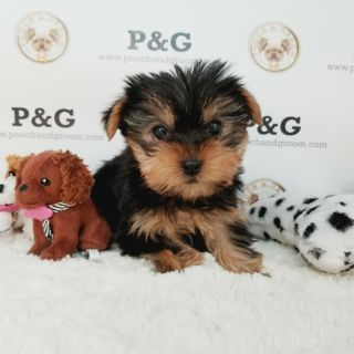 Yorkshire Terrier PUPPY FOR SALE ADN-108388 - YORKSHIRE TERRIER GEORGE MALE