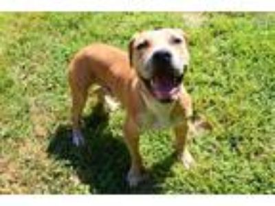 Adopt LANDO a Tan/Yellow/Fawn Mastiff / Mixed dog in Louisville, KY (25870799)