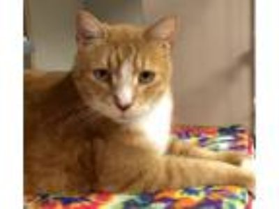Adopt Bryson a Domestic Short Hair, Tabby