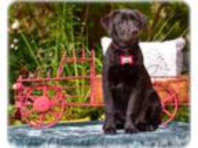Adopt Rose a Labrador Retriever