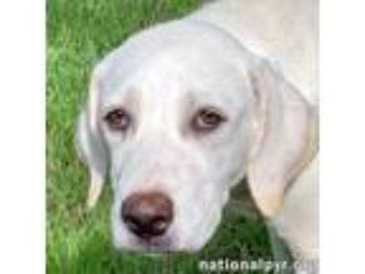 Adopt Sugar in OK - pup! a White - with Tan, Yellow or Fawn Great Pyrenees /