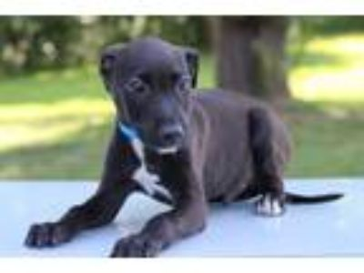 Adopt Dale a Black - with White Labrador Retriever / Mixed dog in Waldorf