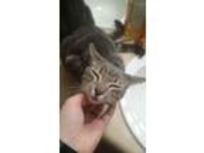 Adopt Marbles a Gray, Blue or Silver Tabby Domestic Mediumhair / Mixed cat in