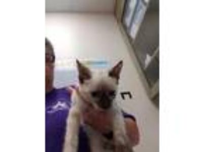 Adopt 1 a White Siamese / Domestic Shorthair / Mixed (short coat) cat in