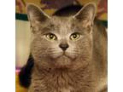 Adopt Peter a Gray or Blue Domestic Shorthair / Domestic Shorthair / Mixed cat