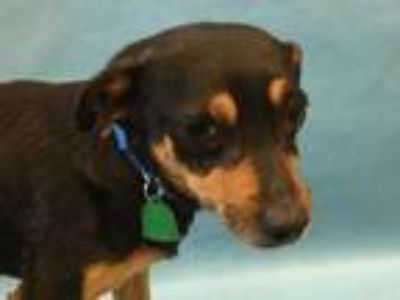 Adopt Rickon a Black Miniature Pinscher / Mixed dog in Golden Valley