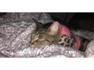 Adopt KittyBelle a Domestic Short Hair