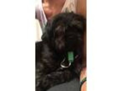 Adopt Davenport a Black Shih Tzu / Mixed dog in Parker Ford, PA (25934067)