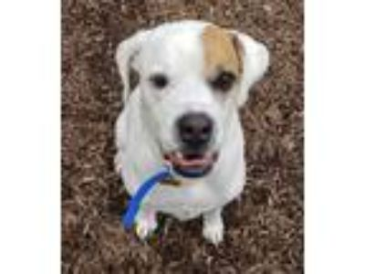 Adopt Deacon a White - with Tan, Yellow or Fawn Boxer / Mixed dog in Dillsburg